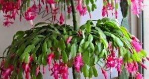 Хитрини за отглеждане на красиви коледни кактуси