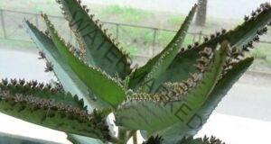 Каланхое пината: Това растение е истински домашен лекар