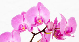 Магическото значение на орхидеята във вашия дом