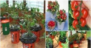 Ето как да отглеждате домати в кофа с корените нагоре