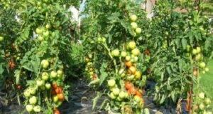 Домати - мързелив начин на отглеждане за богата реколта