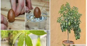 Ето как сами да си засадите и отгледате авокадо