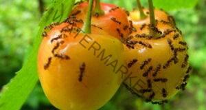 Изгонете всички мравки в градината само за 2 часа
