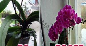 Как да накарате орхидеята да цъфти? Има един сигурен начин