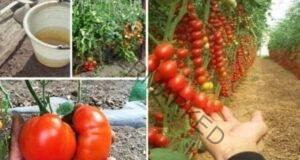 Метод за подхранване на зеленчуците в градината срещу болести