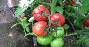 Подхранете доматите със сухари и те ще растат като луди!