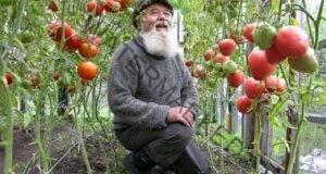 Рецептата на дядо за доматите: Гарантирайте си богата реколта