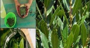 Средство от дафинов лист при разширени вени и загуба на памет