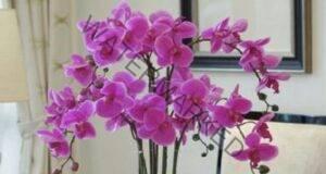 Ето какво трябва да направите, за да цъфти орхидеята