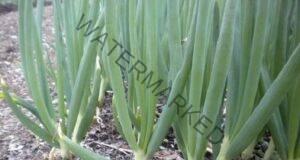Зеленият лук намалява кръвната захар и чисти кръвоносните съдове