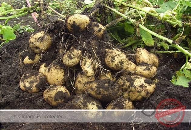 Китайски метод за засаждане на картофи за невероятна реколта