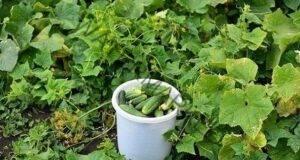 Най-добрите разтвори за по-богата реколта от краставици