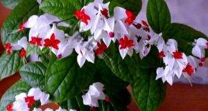 Най-красивото стайно цвете, което цъфти почти през цялата година