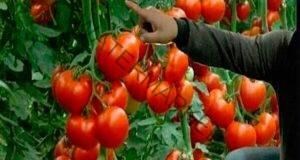 С тези трикове ще получите богата реколта от домати