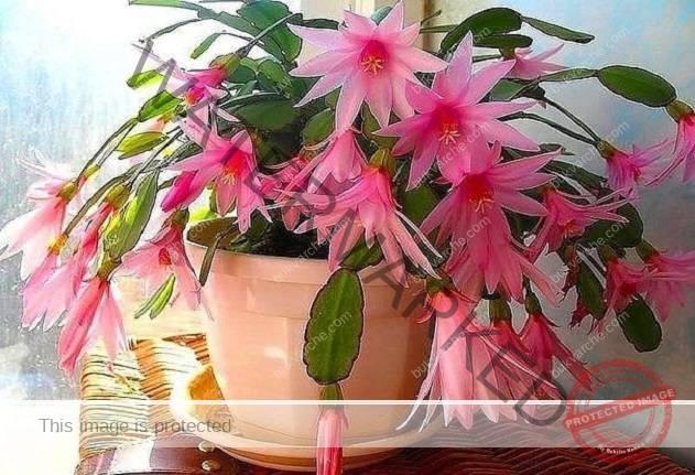 С този малък трик цветята в къщата ще цъфтят великолепно и дълго