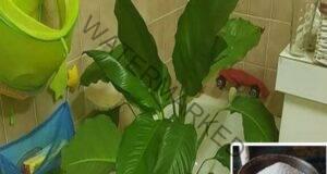 С този трик ще съживите стайните растения за една седмица
