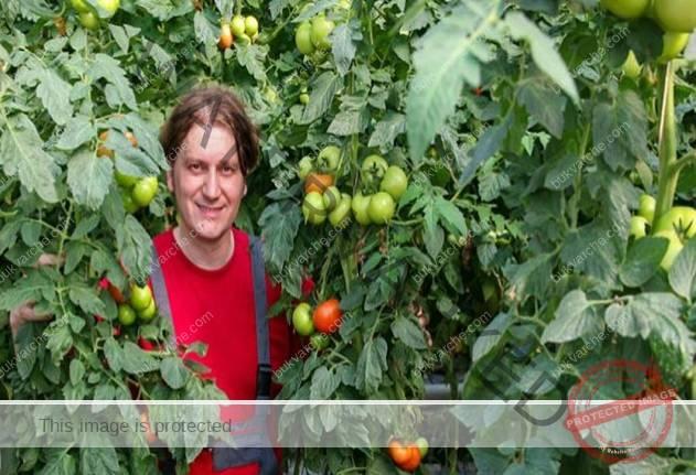 Това е правилният начин за засаждане на домати за богата реколта