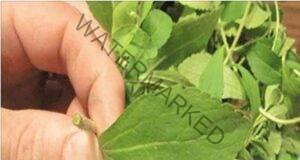 Това растение премахва зависимостта от цигарите мигновено