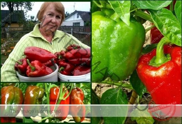 5 важни правила за отглеждане на богата реколта от чушки