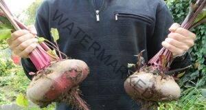 Ето как да получите добра реколта от цвекло. Трик, който действа