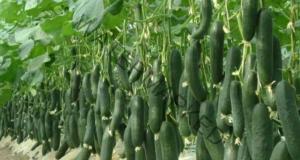 За висок добив от краставици, спазвайте тези 10 правила