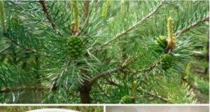 Зелени борови шишарки - еликсир на здравето, достъпен за всеки