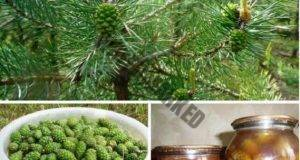 Зелени борови шишарки - еликсир на здравето за всеки