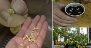 Как да отгледате лимоново дърво от семка в собствения си дом?