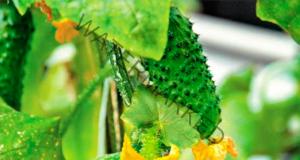 Как листата на краставиците в градината да не пожълтяват?