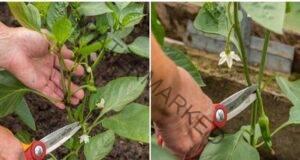 Оформяне на пипера: 3 стъпки към по-богатата реколта