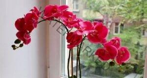 Правила за прехвърляне на орхидеята в по-голяма саксия