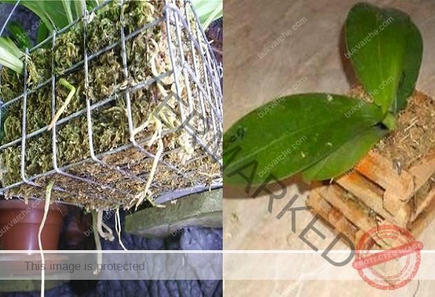 Пресадете орхидеята в кошница: пищните цветове са гарантирани