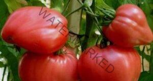 Три пъти повече домати, ако спазвате тези правила
