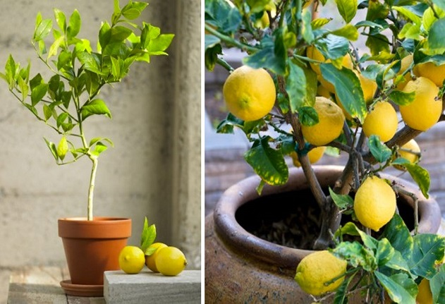 Ето как да отгледате свое собствено лимоново дърво от семка