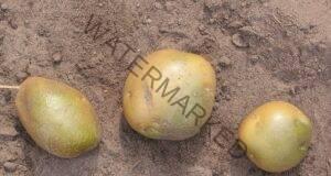 Зелените картофи могат да бъдат опасни за вашето здраве!