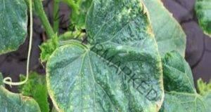 Няколко трика, за да не пожълтяват листата на краставиците