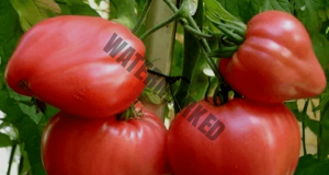 Подрязвам доматите веднъж, а прибирам три пъти по-голяма реколта