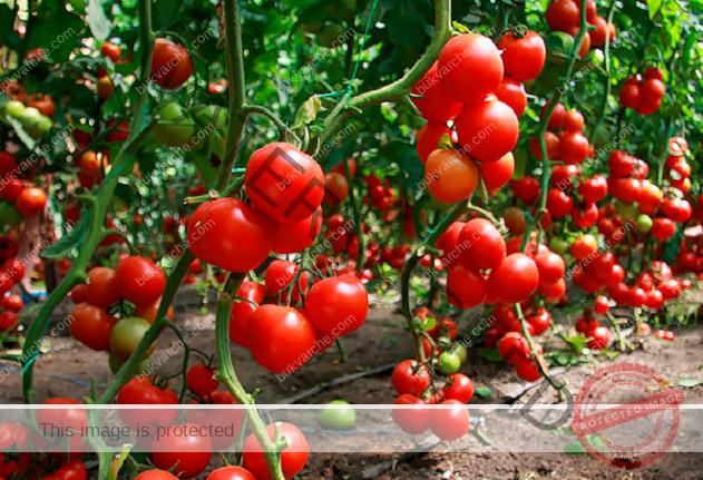 Правилно поливане на доматите в различни етапи от развитието