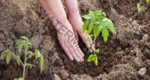 При засаждането на доматите обезателно добавете това в дупката!