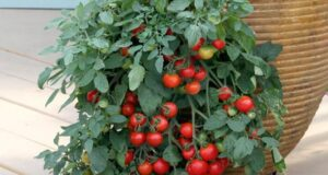Спасете доматите от фитофтора, без да използвате химикали!