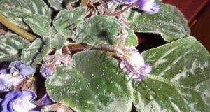 Спасете теменужките от листни въшки с този ефикасен метод!