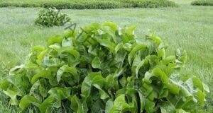 Хрян - растението, което изтегля солта през порите на кожата