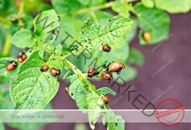 4 чудотворни начина да се отървете от колорадския бръмбар