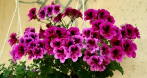 Как да подхранвате стайните цветя за елегантен растеж и цъфтеж?