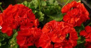 Мушкато – 9 заболявания, които това цвете лекува