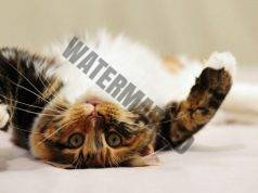 Ако имате котка, инфарктът не е толкова страшен