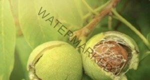 Натурален лек с орехи: при тумори, хипотиреоидизъм, витилиго