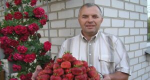 Съвет от опитните градинари за богата реколта от ягоди