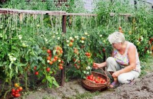 Тази смес с чесън ще спаси реколтата ви от вредители