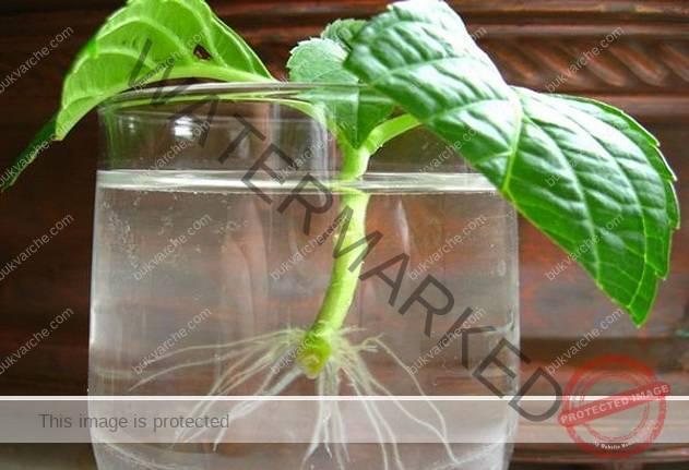 5 доказани начина да ускорите появата на корени на растенията